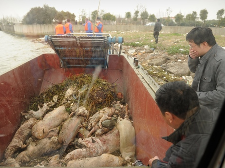 Dead pigs collected by sanitation workers from Shanghai's main waterway on Monday.