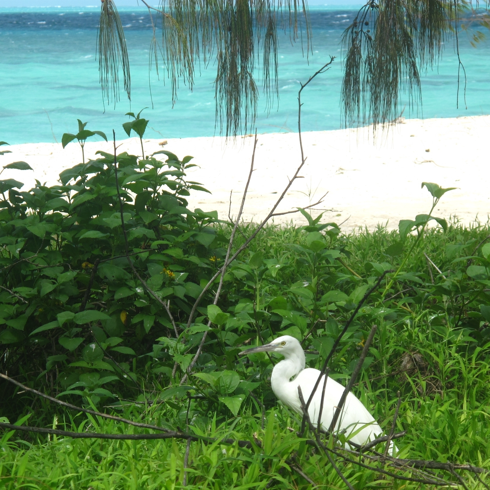 The name Heron Island is deceptive -- the great white-plumed birds on are actually reef egrets.