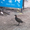 On Australia's Heron Island, buff-banded rails like this one have become the avian equivalent of a weed.