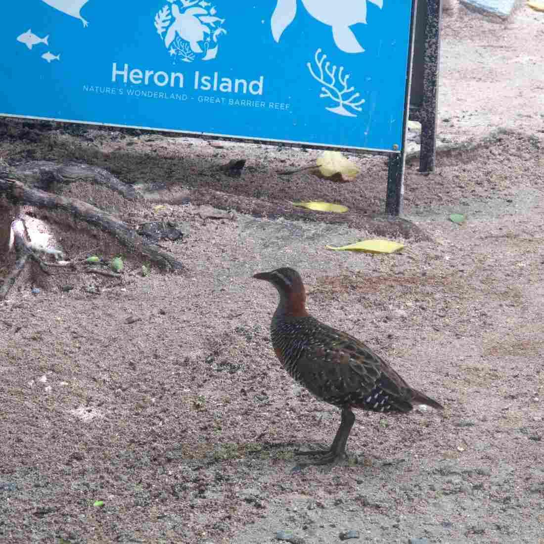 It's 'Birds Gone Wild' Out On Australia's Heron Island
