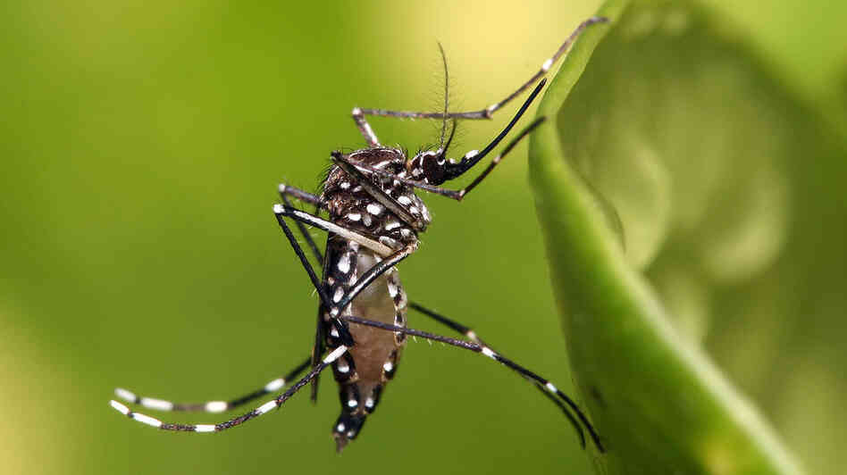 If you catch dengue fever in the Western Hemisphere, it most likely came from the Aedes aegypti mosquito.