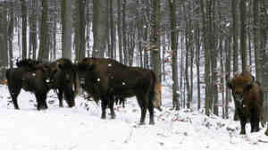 European bison, or wisents, keep a safe distance from human visitors to their enclosure on the property of Prince Richard of Sayn-Wittgenstein-Berleburg