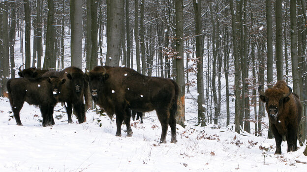 European bison, or wisents, keep a safe di