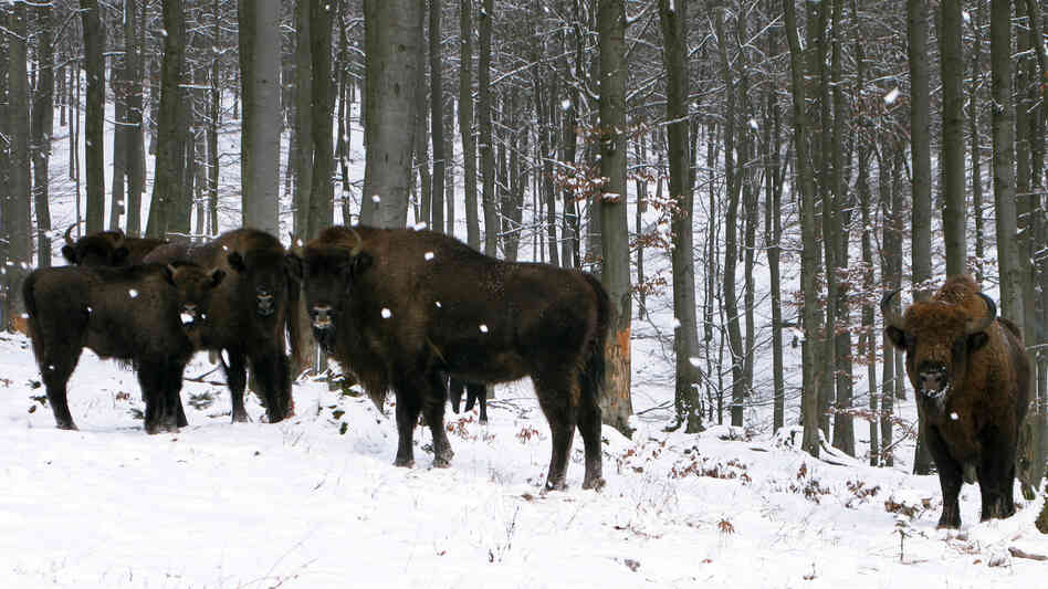 European bison, or wisents, keep a safe distance from human visitors to their enclosure on the property of Prince Richard of Sayn-Wittgenstein-Berleburg in Germany's de