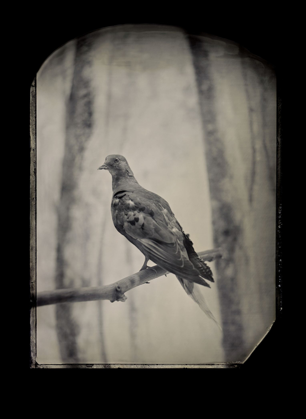 Billions of passenger pigeons once filled the skies of eastern North America. Martha, the last one, died at the Cincinnati Zoo in 1914. Geneticists now think they could resurrect the species. Taxidermic specimen, Smithsonian Institution's National Museum of Natural History, Washington, D.C.