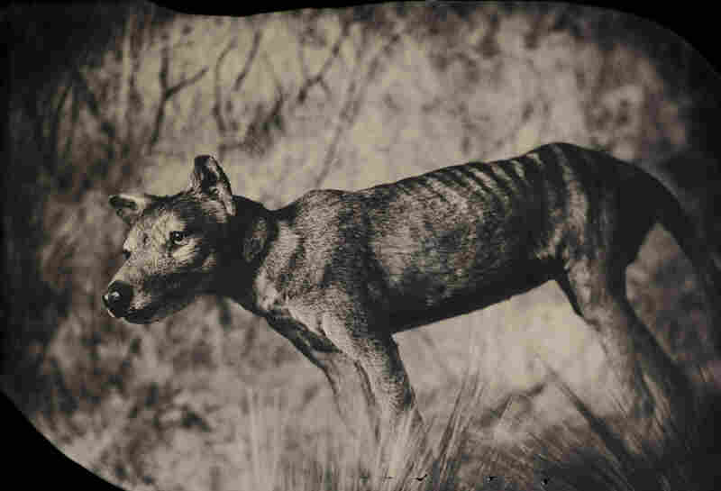 Though it looked like a wolf and was called a Tasmanian tiger, the thylacine was actually a marsupial — a relative of kangaroos and koalas. By the 1930s it had been hunted to extinction. Taxidermic specimen, American Museum of Natural History, New York