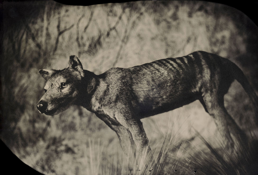Though it looked like a wolf and was called a Tasmanian tiger, the thylacine was actually a marsupial -- a relative of kangaroos and koalas. By the 1930s it had been hunted to extinction. Taxidermic specimen, American Museum of Natural History, New York