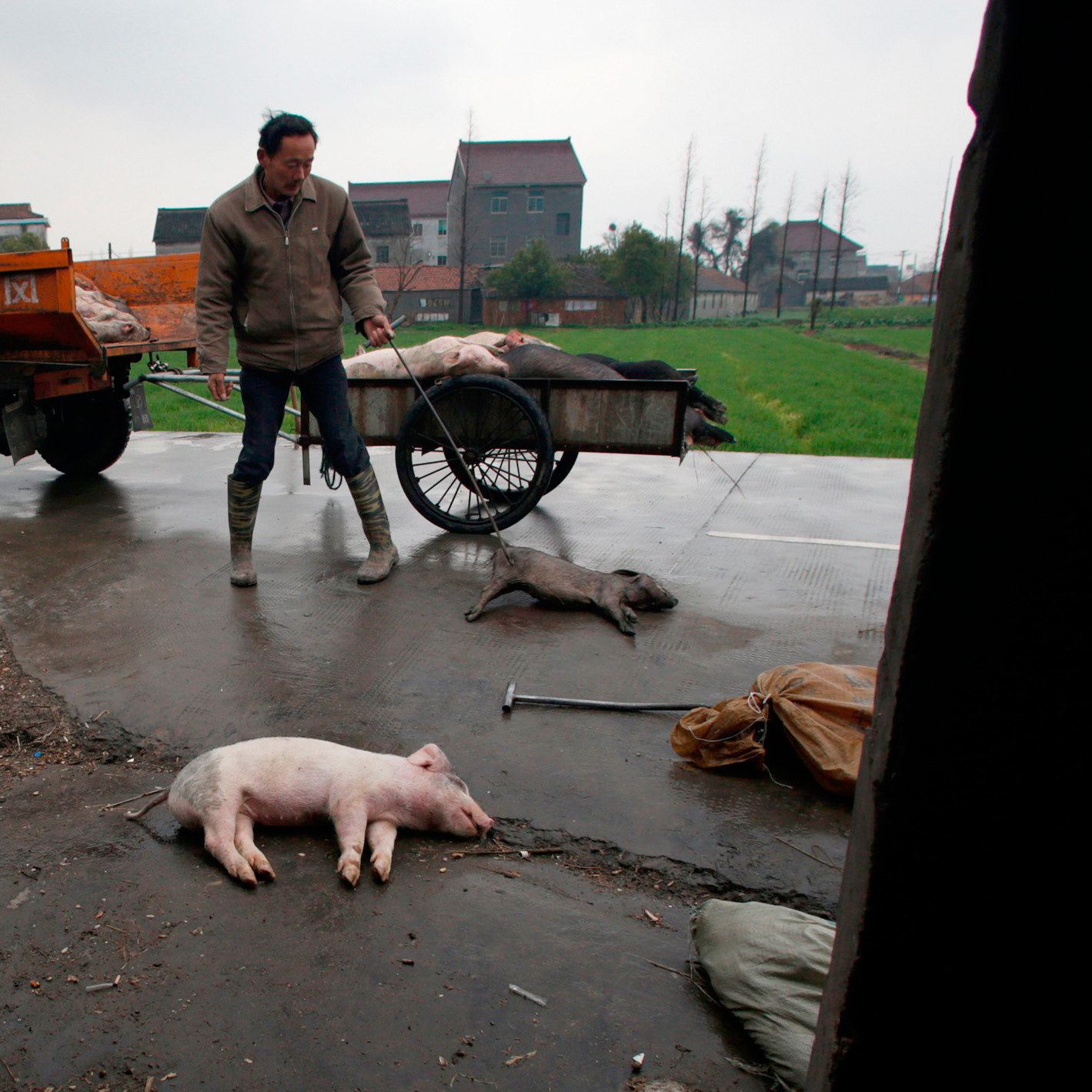 Villagers gather dead pigs in Jiaxing, in eastern China's Zhejiang province, on Wednesday.