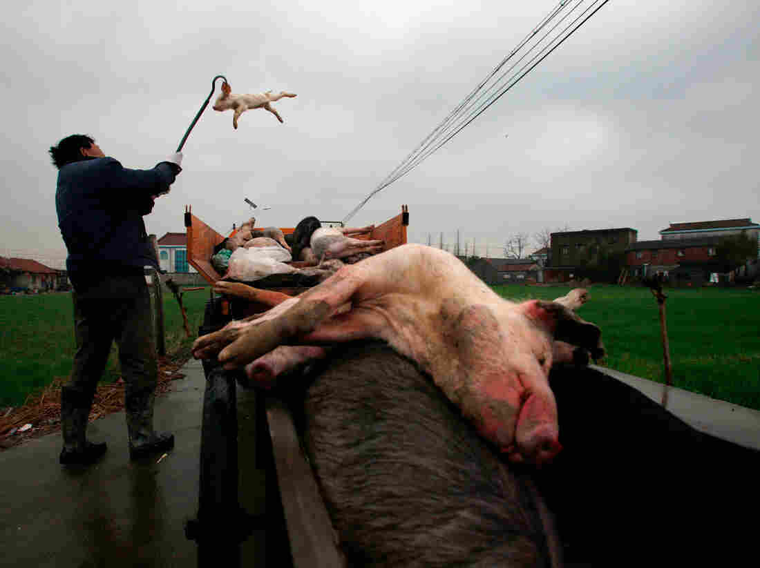 Villagers gather dead pigs in Jiaxing, in eastern China's Zhejiang province, on Wednesday. The number of dead pigs found in Shanghai's main river had doubled in two days to more than 6,000, the government said.