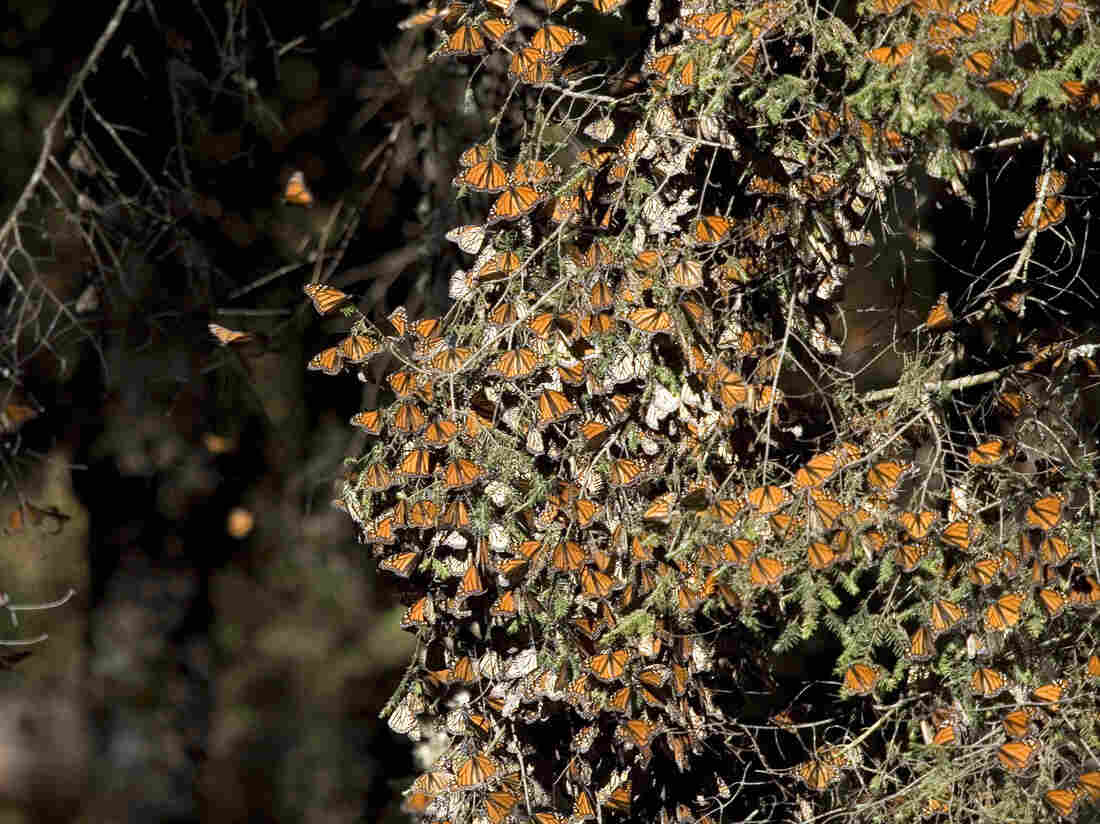Monarch butterflies in December 2008 at the Sierra del Chincua sanctuary in Angangueo, in the Mexican state of Michoacan.