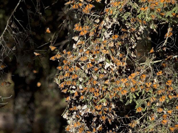 Monarch butterflies in December 2008 at the Sierra de