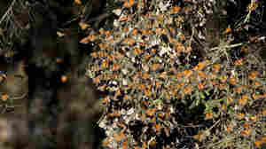Monarch Butterfy Population Falls To Record Low, Mexican Scientists Say