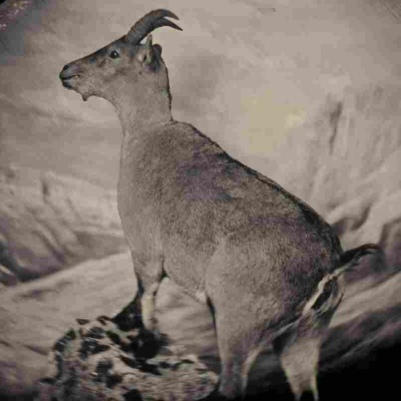The bucardo, or Pyrenean ibex, lived high in the Pyrenees until its extinction in 2000. Three years later, researchers attempted to clone Celia, the last bucardo. The clone died minutes after birth. Taxidermic specimen, Regional Government of Aragon, Spain