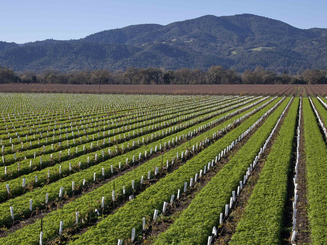 The vineyard at Round Pond Estate in Rutherford, Calif. Napa Valley is just one of wine-growing regions across the country.
