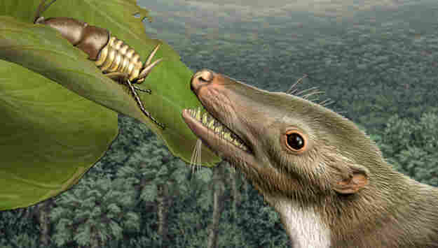 Detail: Head of mammalian common ancestor.