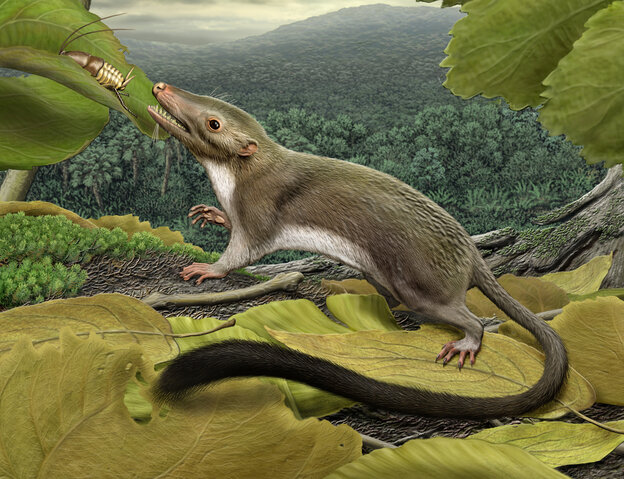 An artist's rendering of the hypothetical placental ancestor, a small insect-eating animal. The research team reconstructed the anatomy of the animal by mapping traits onto the evolutionary tree most strongly supported by the combined phenomic and genomic data and comparing the features in placental mammals with those seen in their closest relatives.