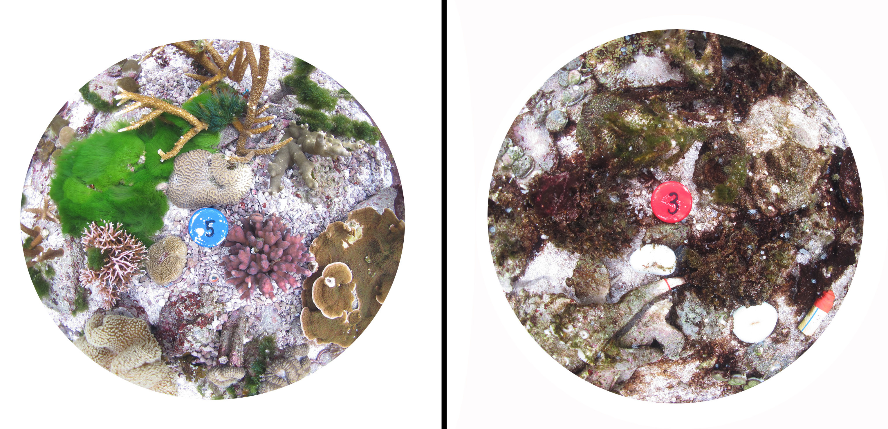 This composite image of pots used in the experiment shows how healthy coral (left) is dramatically affected by higher carbon dioxide levels and sea temperatures (right).