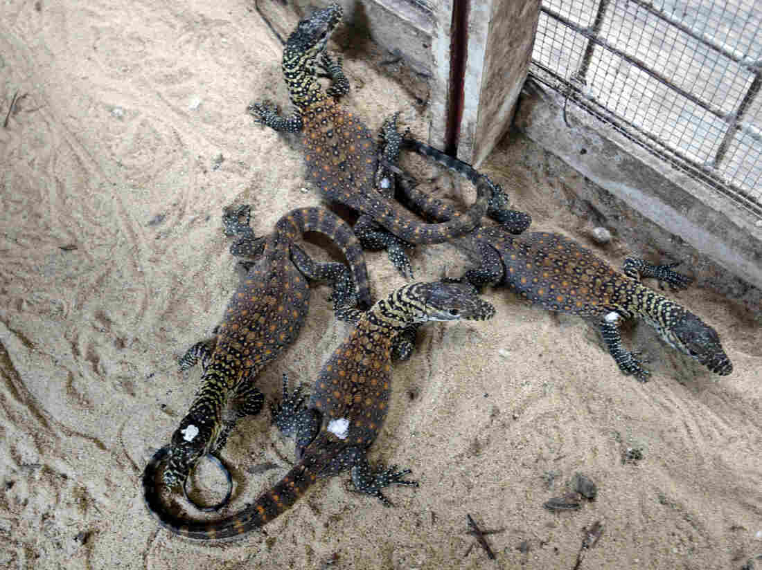 Four of seven baby Komodos born at the Surabaya Zoo in Indonesia last week.