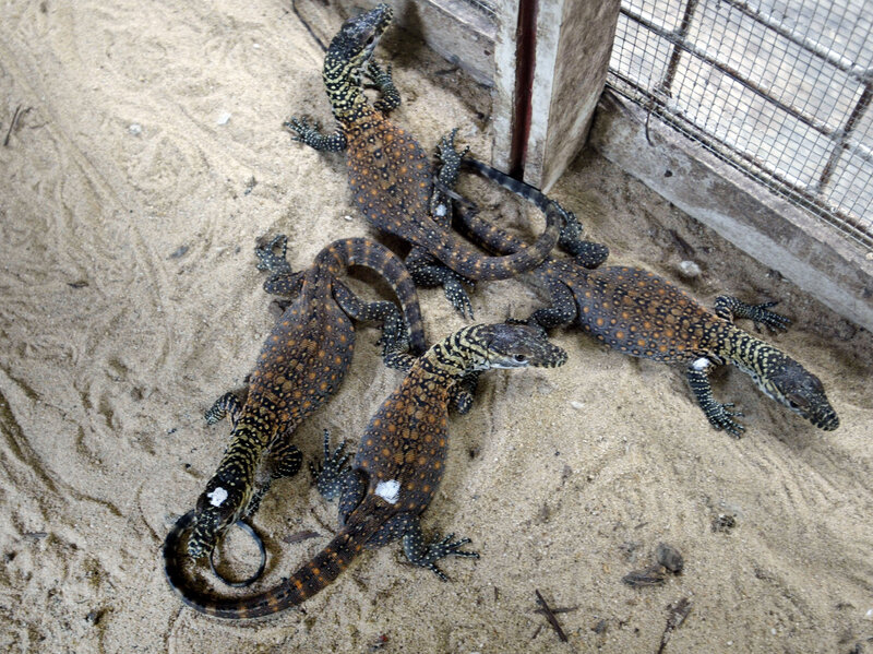 Indonesian Zoo Breeds Rare Komodo Dragons The Two Way Npr