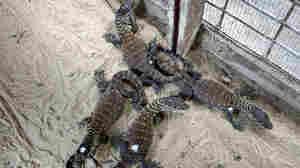Four of seven baby Komodos born at the Surabaya Zoo in Indonesia last week.