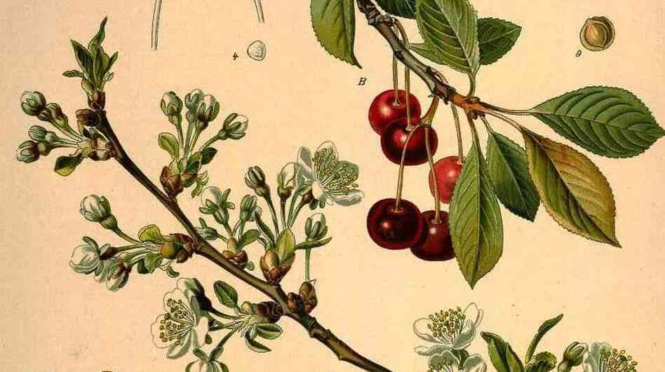 The cherry, prunus cerasus — specifically, the variety marasca — is the only plant that appears in the Manhattan cocktail in an easily recognizable form. But as author Amy Stewart explains, the maraschino garnish is far from the only horticultural element of the cocktail. See below for the rest of the ingredients in a Manhattan.