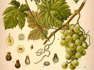 One part sweet vermouth ... As a fortified wine, vermouth started out as Vitis Vinifera. After fermentation, the wine met a host of other botanicals as well.