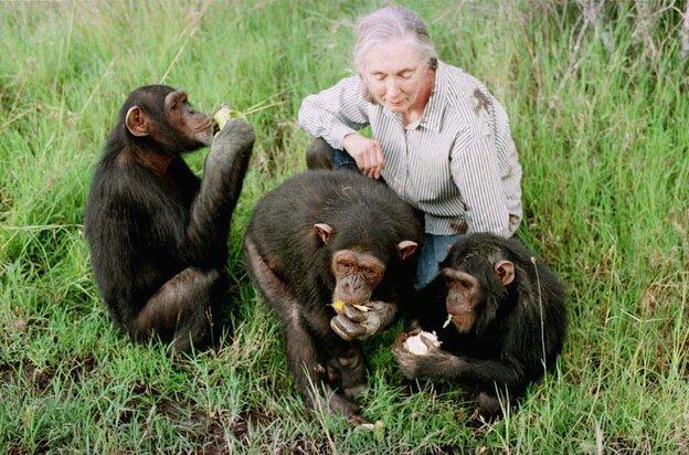 Primatologist Jane Goodall observes chimpanzees in 1997 at the Sweetwaters Chimpanzee Sanctuary near Nanyuki, north of Nairobi, Kenya.