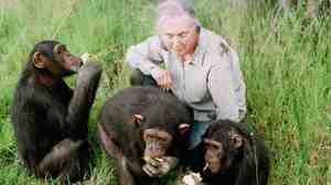 Primatologist Jane Goodall observes chimpanzees in 1997 at the Sweetwaters Chimpanzee Sanctuary near Nanyuki, north of Nairobi, Kenya.