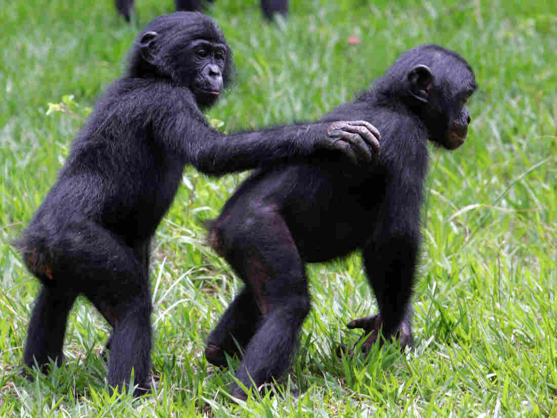 Bonobos at the Lola ya Bonobo sanctuary near Kinshasa in the Democratic Republic of Congo in 2006.