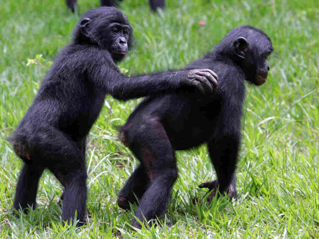 Bonobos at the Lola ya Bonobo sanctuary near Kinshasa in the Democratic Republic of Congo in 2006.
