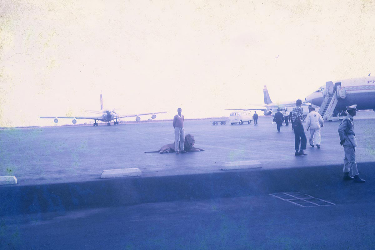 """A lion on the tarmac. This picture was most likely taken while my mother was on safari in Kenya. On one hand, the lion fits the idealized Western image of Africa, but it lies in a thoroughly modern environment."""