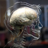 A real human brain on display at an exhibition in Bristol, England.