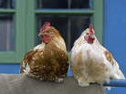 Backyard chickens can be a great hobby. They can also spread disease.