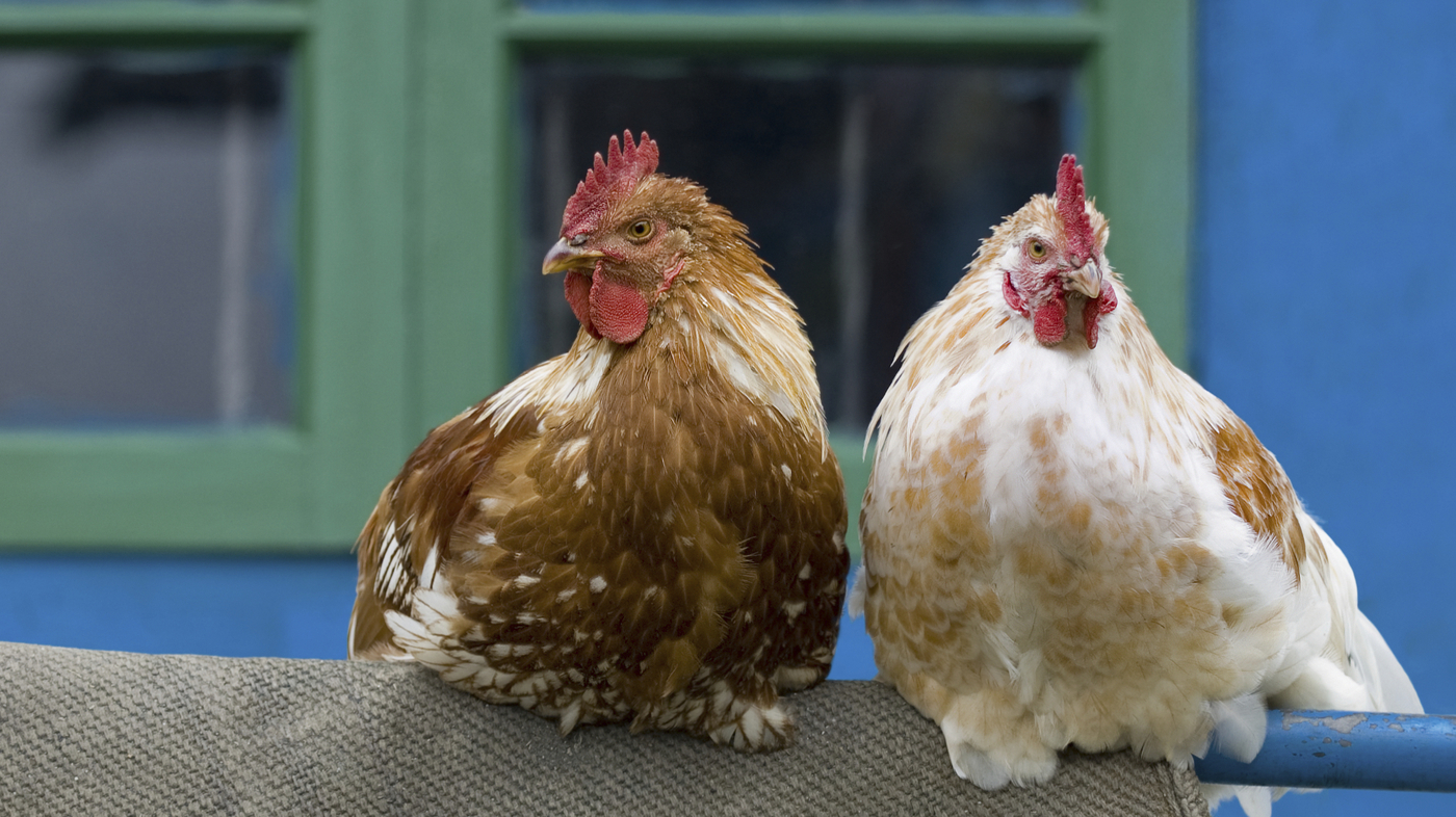 Backyard Chickens: Cute, Trendy Spreaders Of Salmonella : The Salt : NPR