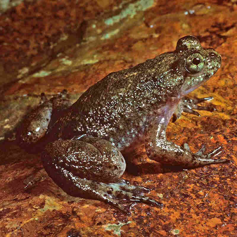 Resurrected Frog Gives Us Cause To Brood