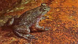 This week scientists announced they have reproduced the genome of an extinct amphibian, the gastric brooding frog.