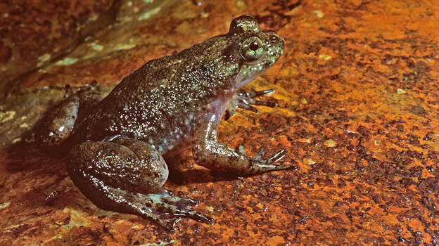 This week scientists announced they have reproduced the genome of an extinct amphibian, the gastric brooding frog. (Auscape/UIG via Getty Images)