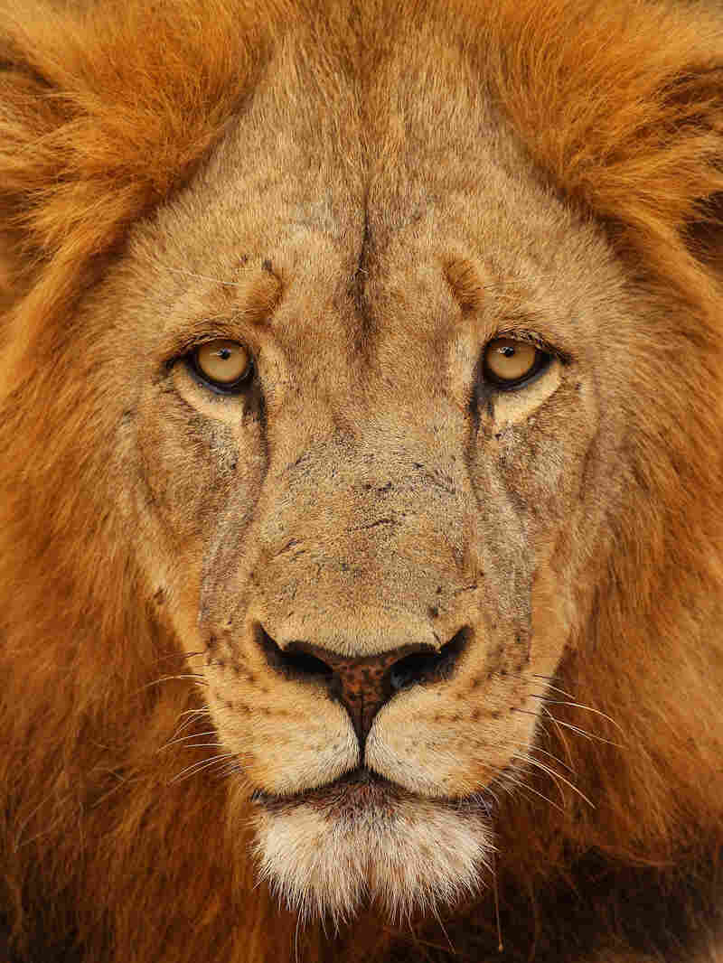 U.S. Fish and Wildlife Service is currently considering adding the African lion to its endangered species list.