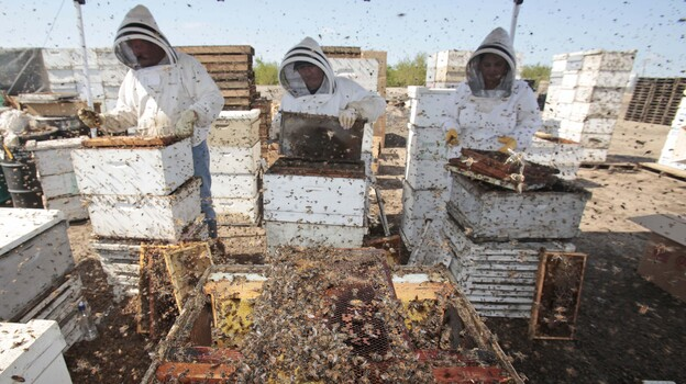 Workers clear honey from dead beehives at a bee farm east of Merced, Calif. (AP)