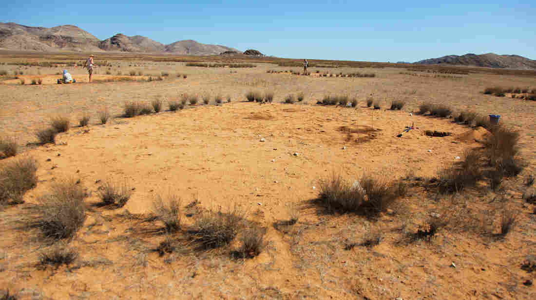 In a normal dry year only the year-round belt of the fully developed fairy circles provide food for grazing animals at Giribesvlakte, Namibia.