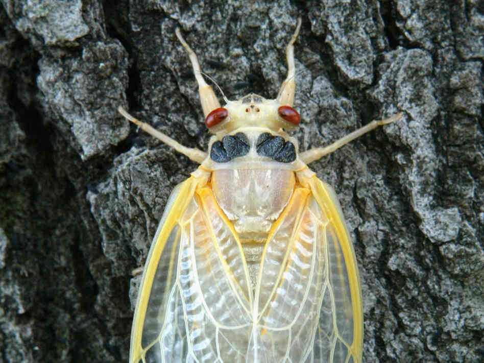 A newly emerged adult cicada dries its wings on a tree in Washington, D.C.