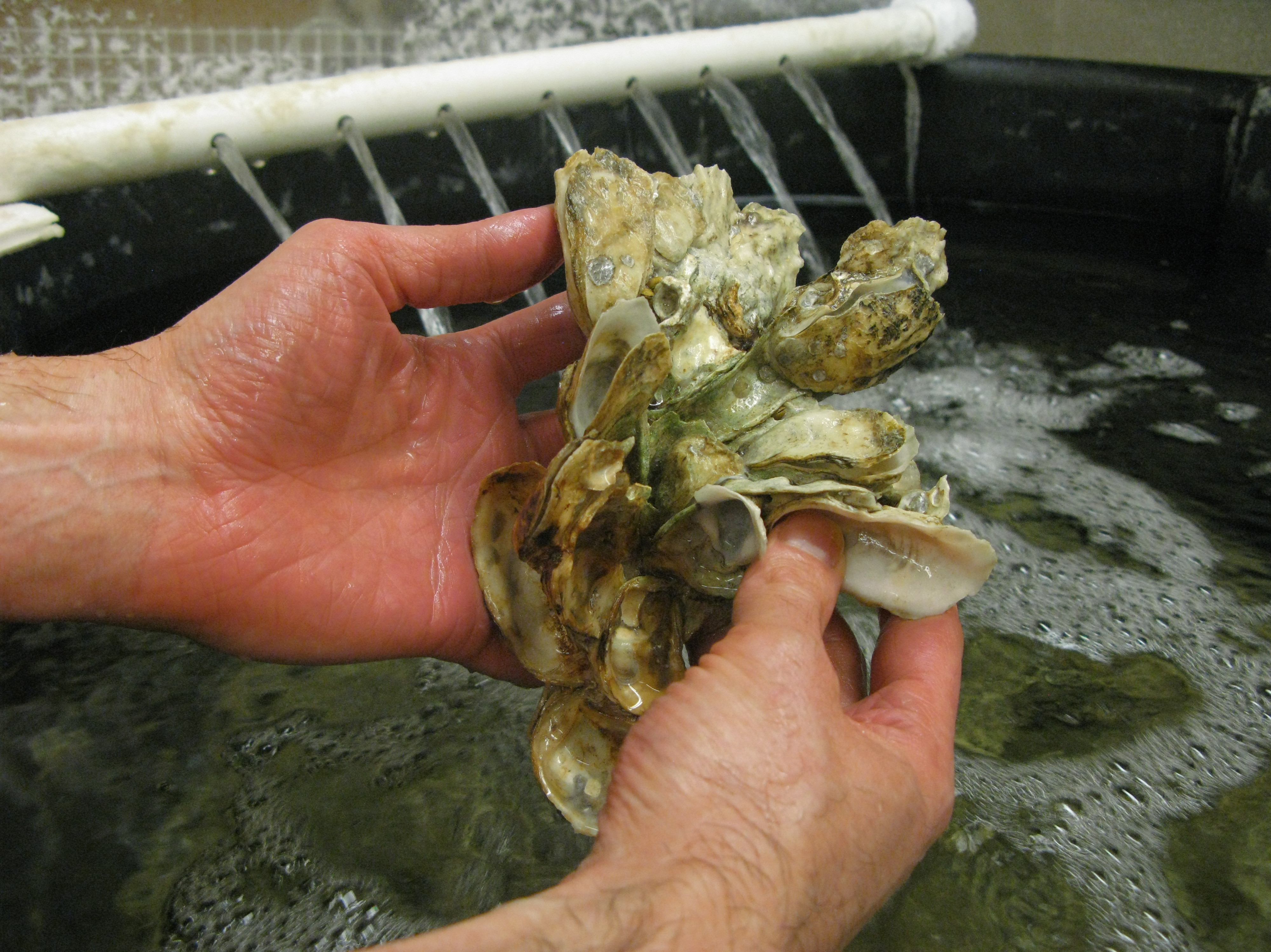 Why A Hoosier State Scientist Is Stuck On Oysters