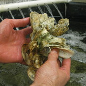 Jonathan Wilker holds up a group of oysters from a tank in his lab at Purdue University.