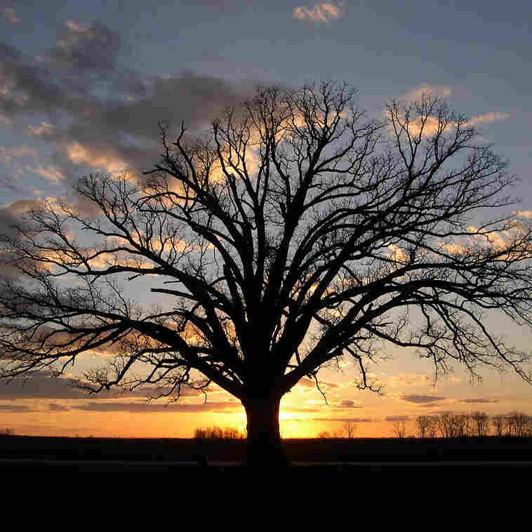 In Missouri, Days Of Drought Send Caretakers To One 'Big Tree'