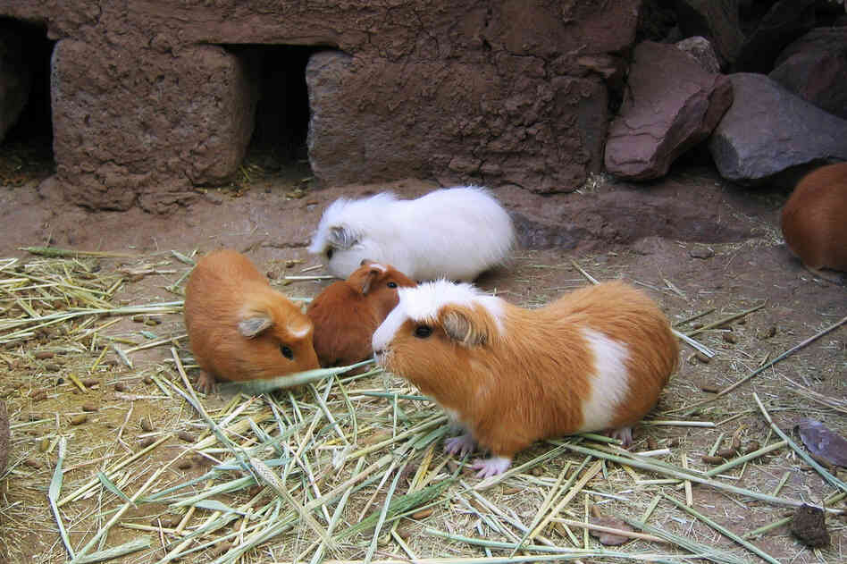 Guinea pigs at a farm for the animals in Puno, Peru, where they're considered a delicacy.