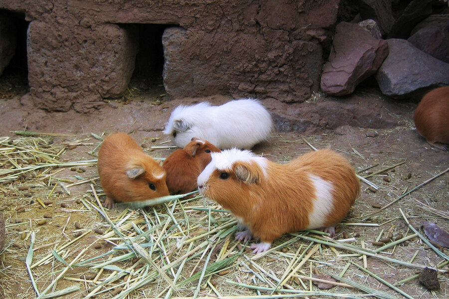 R Guinea Pigs Rodents Guinea pigs at a farm for the