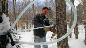 Vermont Finds High-Tech Ways To Sap More Money From Maple Trees