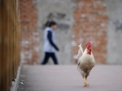 A cockerel walks on a bridge in a residential area of Beijing. The Chinese are beginning to destroy thousands of birds in an effort to stamp out the presumed source of H7N9 infection.