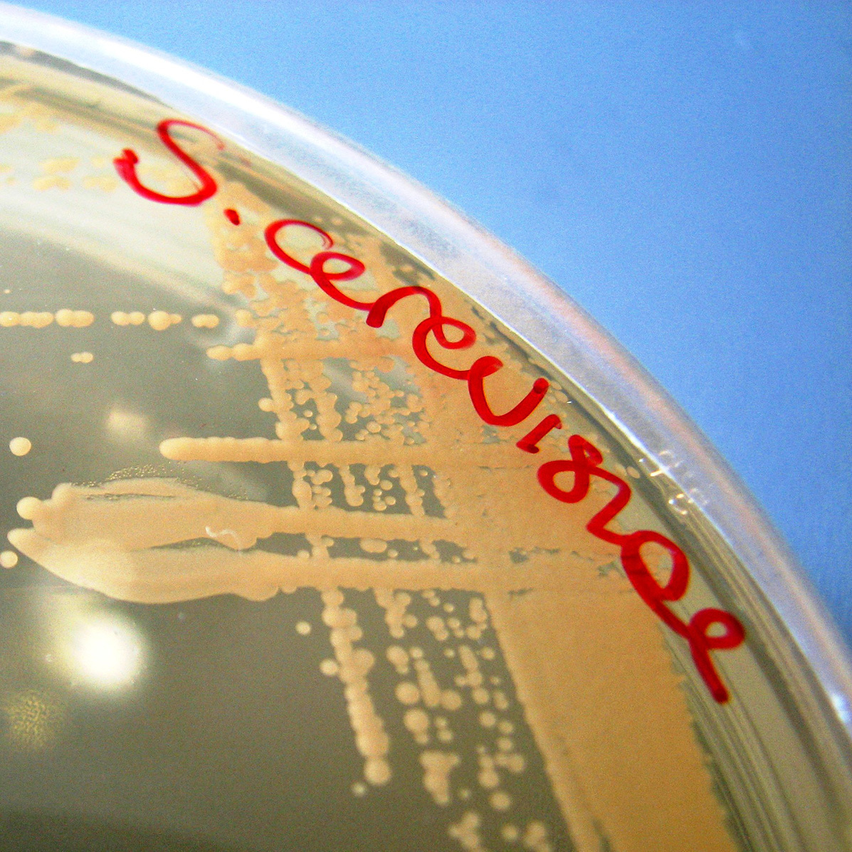 Portland is poised to make Saccharomyces cerevisiae the first microbe with official state recognition.