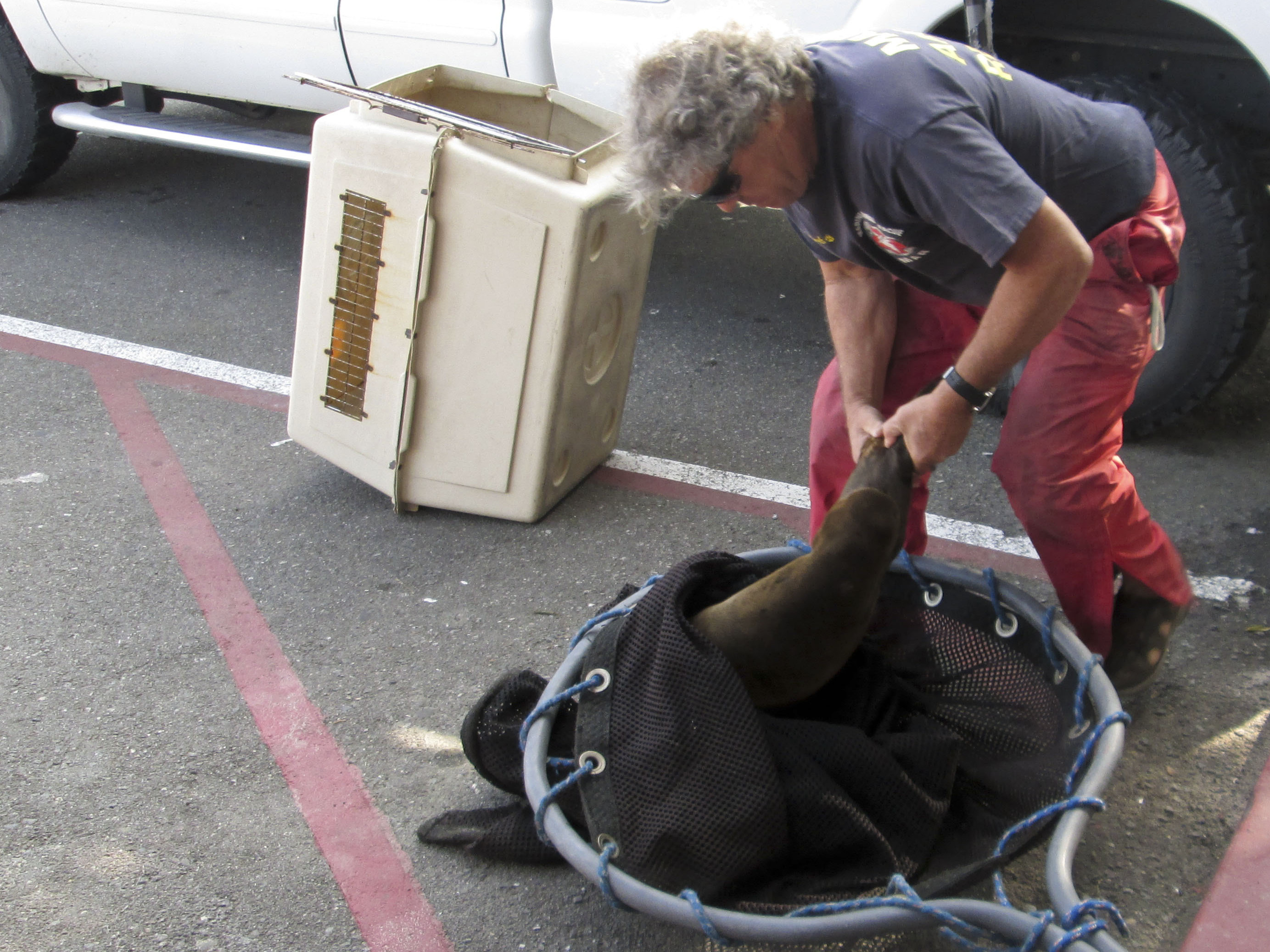 Starving Baby Sea Lions Flood Southern California Shores